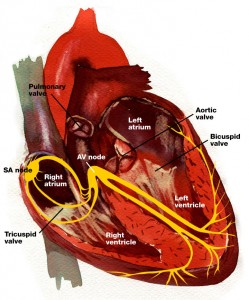 heart--nerve-fibers-and-labesl