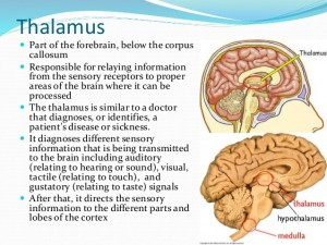The Thalaumus