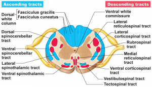 Ascending and descending tracts of the nervous system.